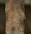 Singapur cherry Muntingia calabura trunk in Secunderabad, AP W IMG 6649.jpg