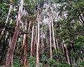 Sinharaja Forest Sri Lanka.jpg
