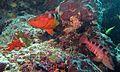 Sixblotch Hinds (Cephalopholis sexmaculata) (6132713821).jpg