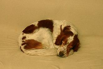 Irish Red and White Setter - Sleeping Irish Red and White Setter