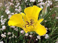 Slender mariposa lily.JPG