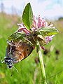 Small Heath Butterfly & Comb-footed Spider (7617050514).jpg