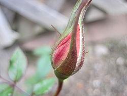 An autumn rosebud in a backyard in Rhode Island, USA