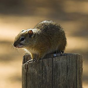 Smiths Bush Squirrel (Paraxerus cepapi) on post.jpg