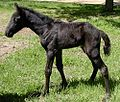 Smokey Black Filly.jpg