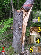 Snag tree fomitopsis pinicola white rot on picea 2 beentree.jpg