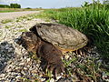 Snapping Turtle (8103910688).jpg
