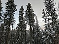 Snow on trees in Cloudcroft.jpg