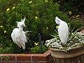 Snowy Egret (48083103447).jpg