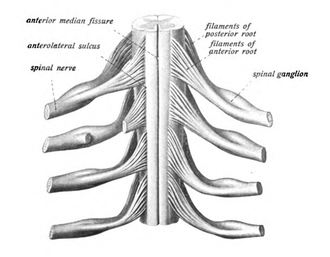 Thoracic spinal nerve 12 - The spinal cord with spinal nerves.