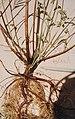 Soboliferous shoots on desmanthus leptophyllus 38351.jpg
