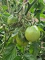 Solanales - Solanum lycopersicum - 41.jpg