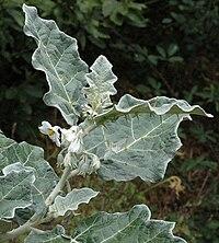 Solanum marginatum1LEST