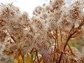 Solidago canadensis - Canada goldenrod - Flickr - Matt Lavin.jpg