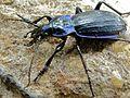 Solier's Ground Beetle (Chrysocarabus solieri bonnetianus) male (8342169461).jpg