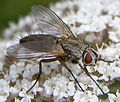 Solieria-sp-Tachinid-fly-20100722b.JPG