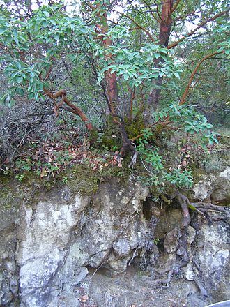 Sonoma Mountain - Pacific madrone growing out of bedrock on northeast slope of Sonoma Mountain