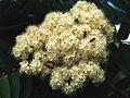 Sorbus decora 1219234.jpg