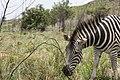 South Africa Zebra (13973136343).jpg