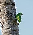 Southern Mealy Parrot (Amazona farinosa) (31018236753).jpg