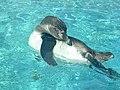 Spheniscus humboldti, Toba Aquarium.jpg