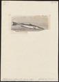 Sphyraena vulgaris - 1700-1880 - Print - Iconographia Zoologica - Special Collections University of Amsterdam - UBA01 IZ13400139.tif