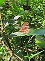 Spindasis lohita - Cigaritis lohita - Long-banded Silverline at Mayyil (2).jpg