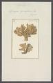 Spongia cymaeformis - - Print - Iconographia Zoologica - Special Collections University of Amsterdam - UBAINV0274 112 02 0040.tif
