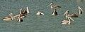 Spot-billed Pelican (Pelecanus philippensis) W IMG 7192.jpg