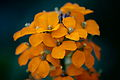 Spring-orange-wildflowers - West Virginia - ForestWander.jpg