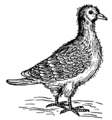 Squab (PSF).png