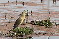 Squacco Heron, Ardeola ralloides at Marievale Nature Reserve, Gauteng, South Africa (20808821918).jpg