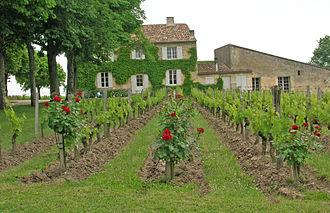 Saint-Émilion AOC - Clos Fourtet vines have roses planted at the end of the rows
