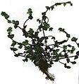 Starr-010415-9002-Veronica arvensis-plant-Polipoli-Maui (24164402399).jpg