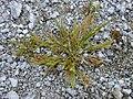 Starr-010520-0023-Eragrostis paupera-habit-Abandoned runway-Kure Atoll (24237156740).jpg