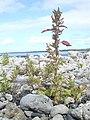 Starr-040410-0057-Chenopodium murale-habit-LaPerouse-Maui (24583372562).jpg