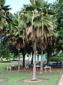 Starr-061106-1447-Pritchardia thurstonii-habit-Maui Nui Botanical Garden-Maui (24572905160).jpg
