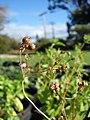 Starr-081031-0407-Coriandrum sativum-fruit-Makawao-Maui (24926702925).jpg