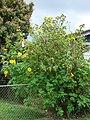 Starr-090417-6136-Tithonia diversifolia-flowering habit-Haliimaile-Maui (24858866981).jpg
