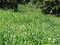 Starr-090519-8029-Lathyrus latifolius-flowering habit-Kula-Maui (24325043704).jpg