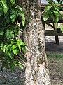 Starr-090610-0446-Syzygium malaccense-trunk-Haiku-Maui (24595919049).jpg