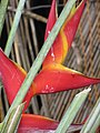 Starr-090617-1014-Heliconia sp-flowers-Haiku-Maui (24965360955).jpg