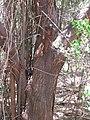 Starr-090707-2366-Pithecellobium dulce-bark-Olowalu-Maui (24338394164).jpg