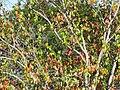 Starr-091023-8502-Acer buergerianum-fall foliage-Kula-Maui (24356145574).jpg
