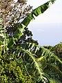 Starr-091112-9540-Musa x paradisiaca-Iholena habit-West Maui-Maui (24895836571).jpg