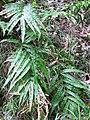 Starr-091115-1185-Pteris cretica-habit-Olinda-Maui (24990012485).jpg
