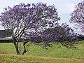 Starr-100504-5881-Jacaranda mimosifolia-flowering habit-Kula Hwy Kula-Maui (24406808004).jpg