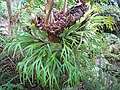 Starr-110307-2133-Platycerium bifurcatum-habit-Kula Botanical Garden-Maui (25077661575).jpg