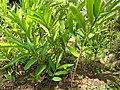 Starr-110307-2225-Alpinia zerumbet-habit-Kula Botanical Garden-Maui (24782218650).jpg