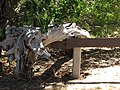 Starr-110312-3124-Thespesia populnea-after tsunami log on barricade-Kaa Pt Kanaha Beach-Maui (24711670729).jpg
